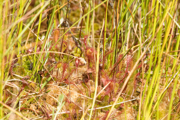 Common sundew - drosera capillaris
