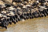 Wildebeest migration, Masai Mara Game Reserve, Kenya poster