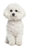 Bichon frise, 5 years old, sitting in front of white background poster