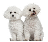 Bichon frise, 9 and 5 years old, sitting poster