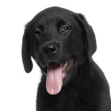 Labrador puppy, 12 weeks old, with tongue out