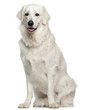 Kuvasz, 18 months old, sitting in front of white background