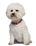 Bichon Frise, 13 years old, sitting poster