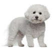 Bichon Frise, 5 years old, standing