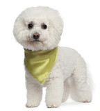 Bichon Frise wearing scarf, 7 years old, standing poster