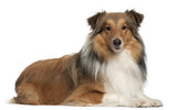 Shetland Sheepdog, 5 years old, lying poster