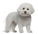 Bichon Frise, 5 years old, standing poster