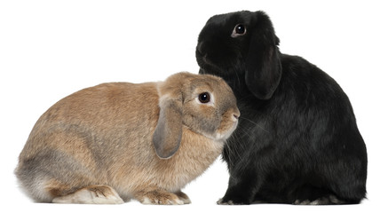 Rabbits, 4 and 6 months old, in front of white background