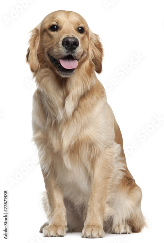 Golden Retriever, 1 and a half years old, sitting