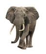 Fototapeten,elefant,isoliert,afrikanisch,tier
