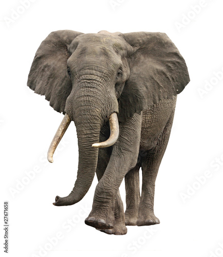 Foto op Canvas Afrika elephant approaching isolated