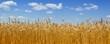 Leinwanddruck Bild - Gold wheat field