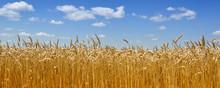 "Постер, картина, фотообои ""Gold wheat field"""