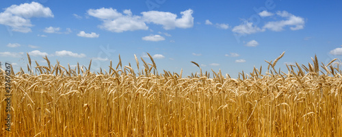 Gold wheat field - 27676267