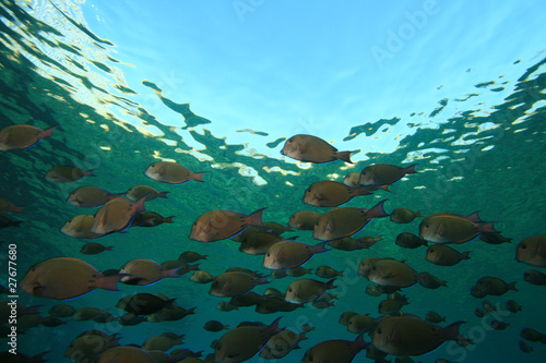 Shoal of Dusky Surgeonfishes