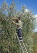 Uomo che raccoglie olive