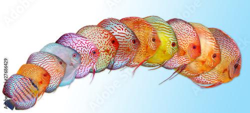 Discus symphysodon pesce tropicale di marcoap1974 foto for Pesce discus
