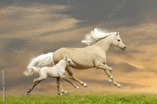 Fototapety, obrazy : ponies running in sunset