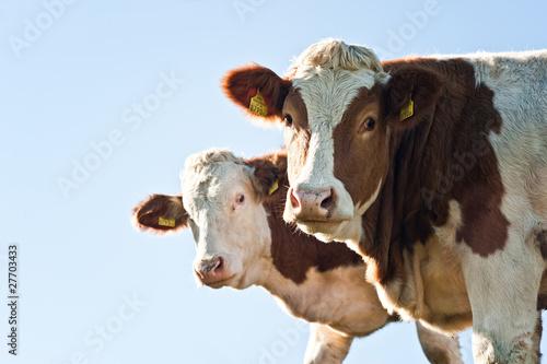 Fotobehang Koe Two Nosy Cows
