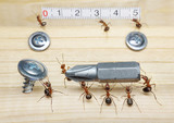 team of ants measures with ruler and carries screwdriver