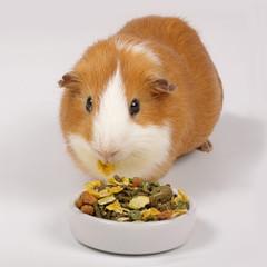 cobaye mangeant graines