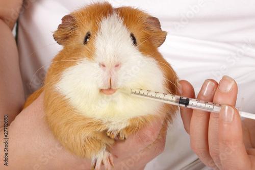 mains donnant seringue médicament à un cobaye