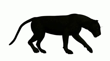 Black Leopard Walking