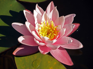 Beautiful pink water lily shot at the water garden