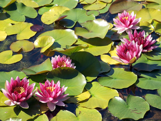 Beautiful pink water lilys shot at the water garden