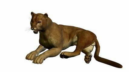 Puma Lying Down