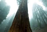 Fototapety Sequoya
