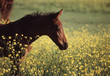 Foal in Field on Buttercups