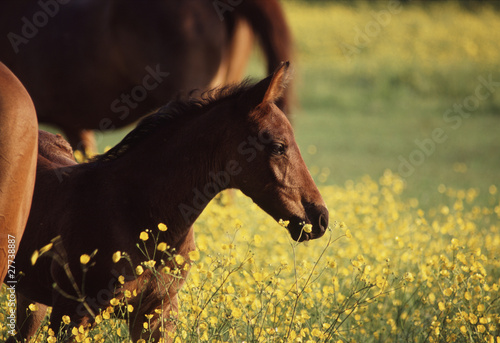 Foal in Field of Buttercups