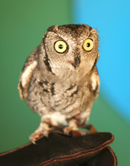 A Screech Owl with Big Yellow Eyes on a Falconer's Glove