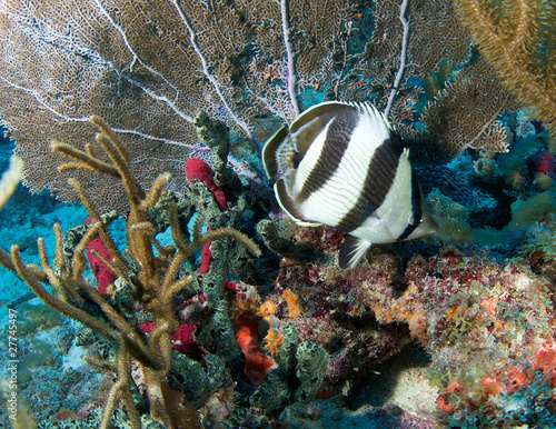 Coral Ledge Composition with Banded Butterflyfish in foreground