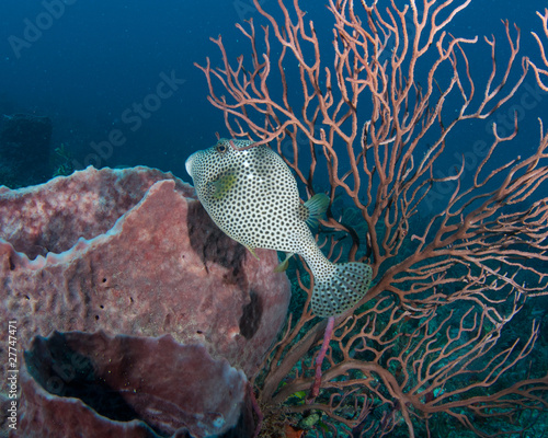 Spotted Trunkfish, picture taken in southeast Florida.