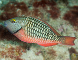 Stoplight Parrotfish, picture taken in southeast Florida poster