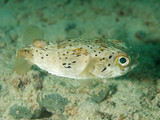 Balloonfish, picture taken in southeast Florida poster