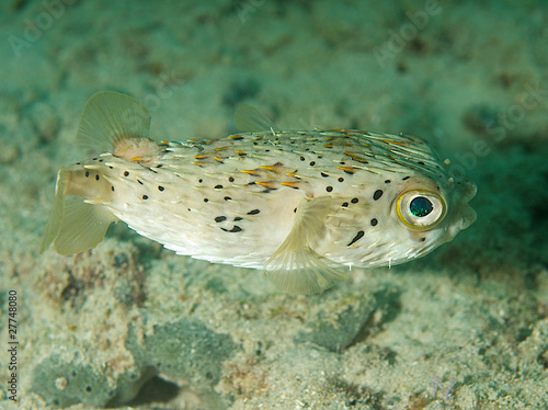 Balloonfish, picture taken in southeast Florida