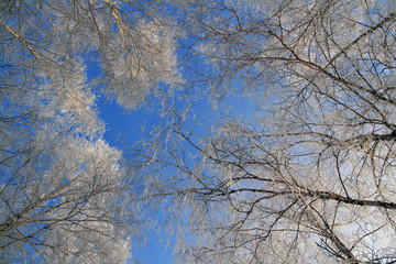 Trees in the frost on the background of blue sky