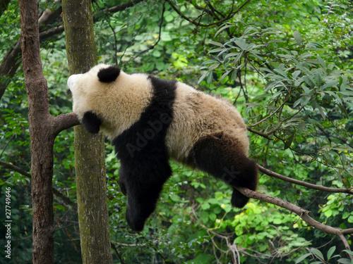Fotobehang Panda panda qui dort