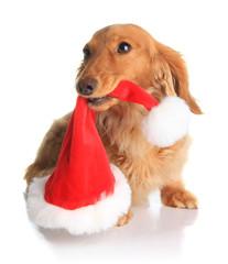 Naughty Santa dog