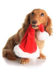 Naughty Christmas dog