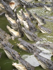 crocodiles