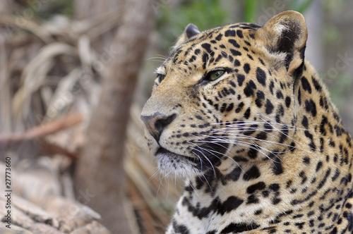Fotobehang Luipaard Portrait de profil d'une panthère -Panthera pardus-