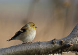 Winter Plumaged American Goldfinch poster