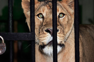 Prisoner - lion female glance