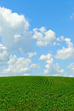 Bean Field and Sky