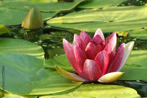 Panel Szklany lilia wodna