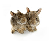 Two baby bunny rabbits